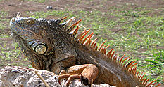 iguana on isabela island, pacific ocean, mexico