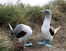 blue footed boobies on isabela island, pacific ocean, mexico